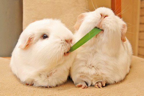 Guinea Pigs or Rabbits? Advantages of Guinea Pigs
