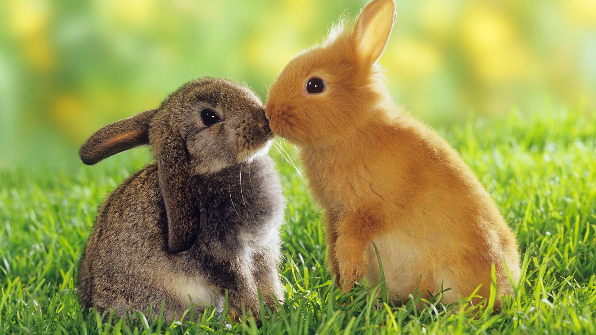 Guinea Pigs or Rabbits? Advantages of Rabbits