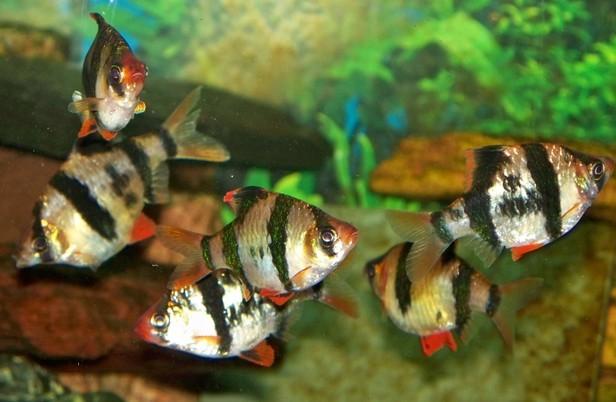 Tiger Barb - Exotic Fish Pets & Their Food